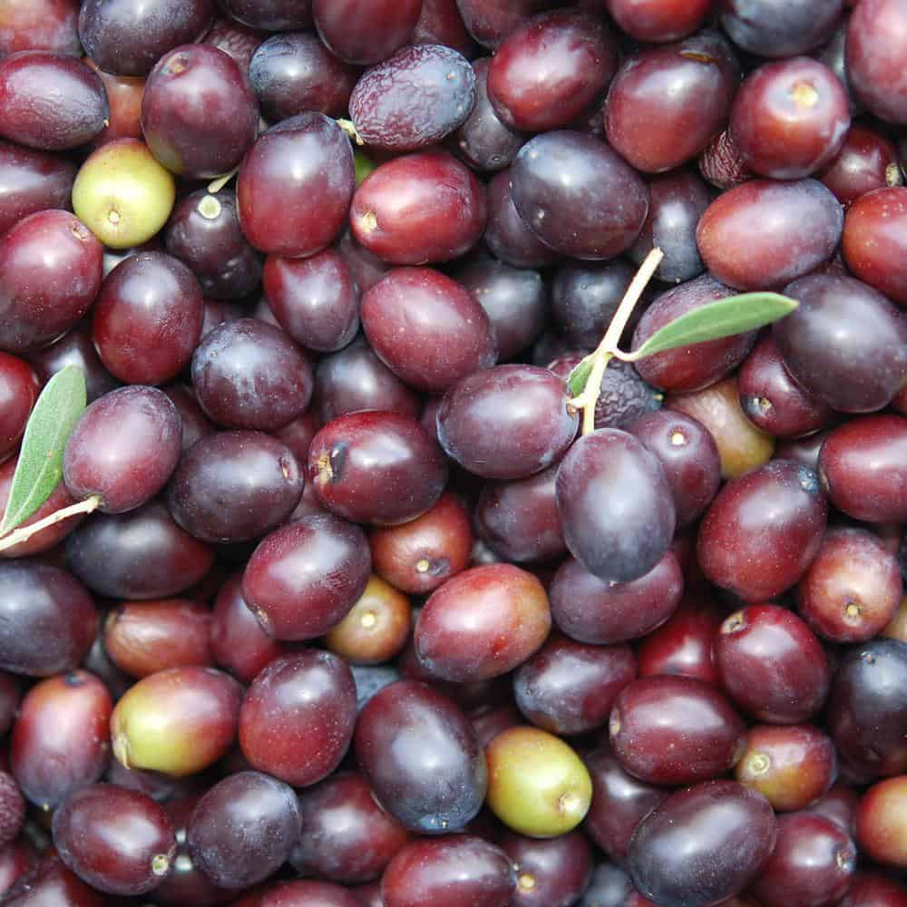 Leccino Olives