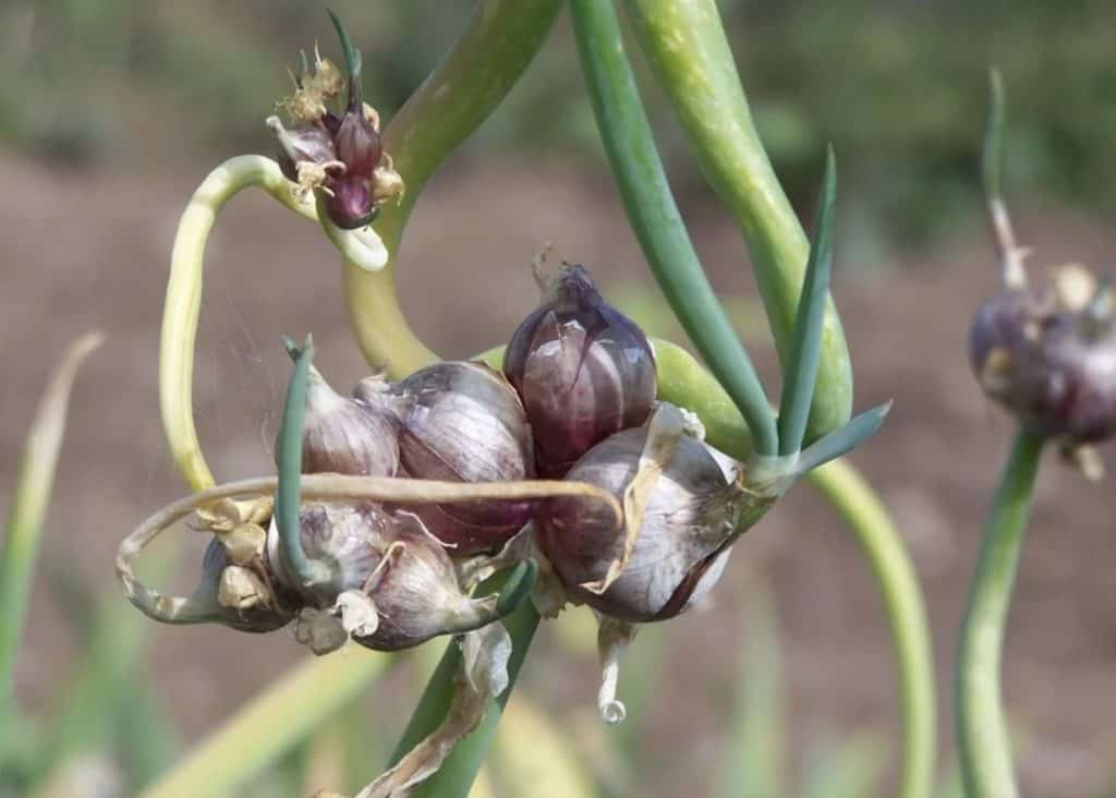 Egyptian Onions