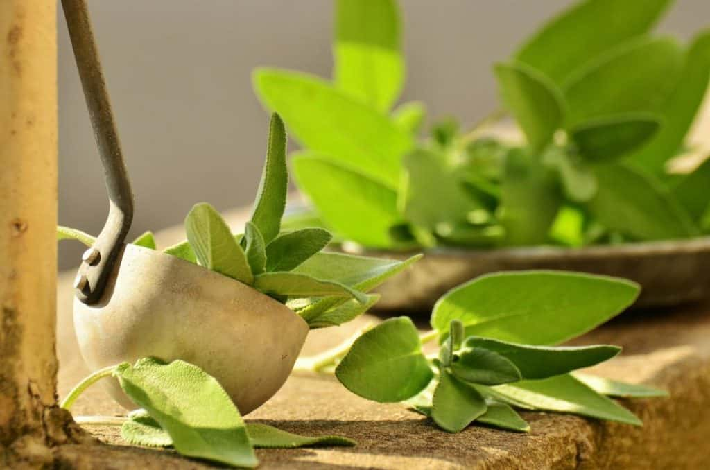 Uses of Sage in Daily Life