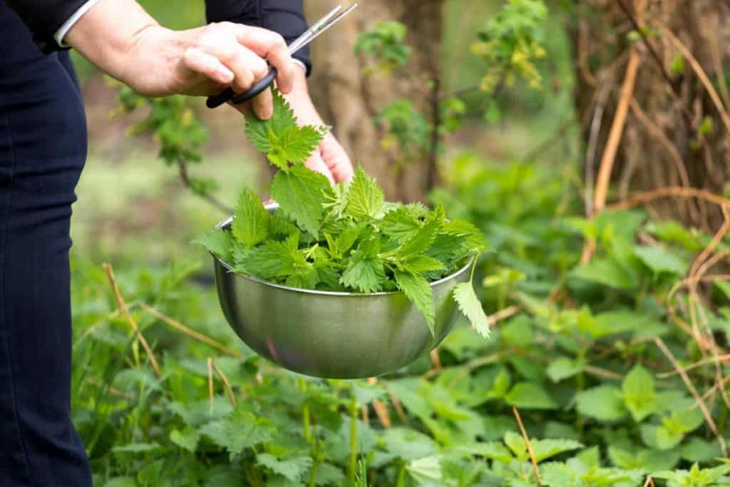 What is Nettle Leaf Tea?
